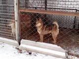 Собаки, щенята Західно-Сибірська лайка, ціна 12000 Грн., Фото