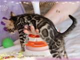 Кішки, кошенята Бенгальськая, ціна 22000 Грн., Фото