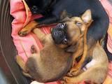 Собаки, щенята Брабантський гріффон, ціна 8000 Грн., Фото