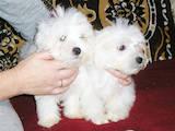 Собаки, щенята Мальтійська болонка, ціна 8000 Грн., Фото
