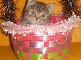 Кішки, кошенята Британська короткошерста, ціна 5000 Грн., Фото