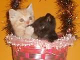 Кошки, котята Британская короткошерстная, цена 5000 Грн., Фото