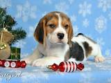 Собаки, щенки Бигль, цена 8000 Грн., Фото