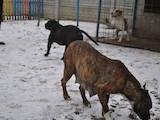 Собаки, щенята Американський стаффордширський тер'єр, ціна 2700 Грн., Фото