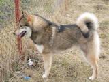 Собаки, щенята Західно-Сибірська лайка, Фото