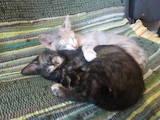 Кішки, кошенята Безпорідна, ціна 40 Грн., Фото