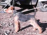 Собаки, щенки Вельштерьер, цена 5600 Грн., Фото