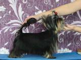 Собаки, щенки Йоркширский терьер, цена 25000 Грн., Фото
