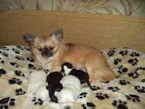 Собаки, щенки Чихуа-хуа, цена 3900 Грн., Фото