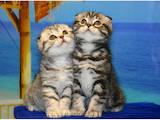 Кішки, кошенята Шотландська висловуха, ціна 8000 Грн., Фото