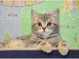 Кошки, котята Шотландская короткошерстная, цена 4900 Грн., Фото