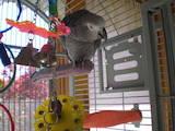 Попугаи и птицы Попугаи, цена 2300 Грн., Фото