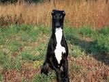 Собаки, щенята Грейхаунд, ціна 9000 Грн., Фото