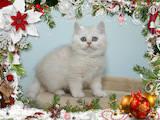 Кішки, кошенята Британська короткошерста, ціна 6500 Грн., Фото