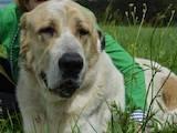 Собаки, щенята Середньоазіатська вівчарка, ціна 6500 Грн., Фото