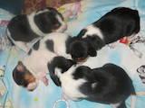 Собаки, щенки Эстонская гончая, цена 1550 Грн., Фото