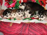 Собаки, щенята Сибірський хаськи, ціна 2980 Грн., Фото