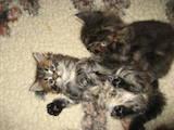 Кішки, кошенята Мейн-кун, ціна 6000 Грн., Фото