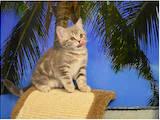 Кошки, котята Шотландская короткошерстная, цена 4500 Грн., Фото