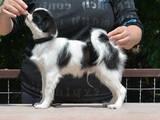 Собаки, щенята Японський хіни, ціна 3500 Грн., Фото