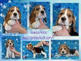 Собаки, щенки Бигль, цена 18000 Грн., Фото