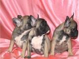 Собаки, щенки Французский бульдог, цена 11000 Грн., Фото