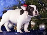 Собаки, щенки Французский бульдог, цена 57000 Грн., Фото