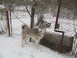 Собаки, щенки Западно-Сибирская лайка, цена 4000 Грн., Фото
