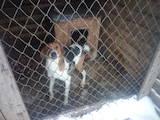Собаки, щенки Эстонская гончая, цена 11 Грн., Фото