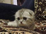 Кошки, котята Шотландская вислоухая, цена 4300 Грн., Фото