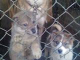 Собаки, щенки Западно-Сибирская лайка, цена 1300 Грн., Фото