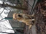 Собаки, щенки Кавказская овчарка, цена 2700 Грн., Фото