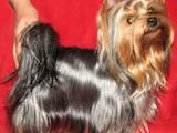 Собаки, щенки Йоркширский терьер, цена 16000 Грн., Фото
