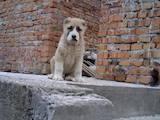 Собаки, щенки Среднеазиатская овчарка, цена 3000 Грн., Фото