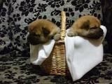 Собаки, щенята Невідома порода, ціна 30000 Грн., Фото