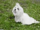 Собаки, щенята Мальтійська болонка, ціна 14000 Грн., Фото