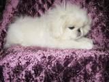 Собаки, щенята Пекінес, ціна 3550 Грн., Фото