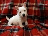 Собаки, щенята Вестхайленд уайт тер'єр, ціна 22400 Грн., Фото