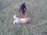 Собаки, щенята Ягдтер'єр, Фото