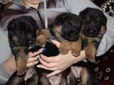 Собаки, щенки Немецкая овчарка, цена 10500 Грн., Фото