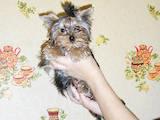Собаки, щенки Йоркширский терьер, цена 13800 Грн., Фото