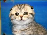 Кошки, котята Шотландская вислоухая, цена 8000 Грн., Фото