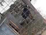 Собаки, щенята Російсько-Європейська лайка, ціна 10 Грн., Фото