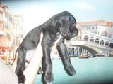 Собаки, щенки Кане Корсо, цена 6000 Грн., Фото