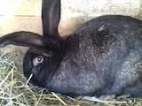 Грызуны Кролики, цена 500 Грн., Фото