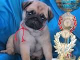 Собаки, щенята Мопс, ціна 12000 Грн., Фото