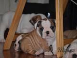 Собаки, щенки Английский бульдог, цена 22000 Грн., Фото