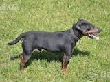 Собаки, щенки Ягдтерьер, цена 100 Грн., Фото