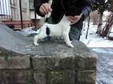 Собаки, щенки Гладкошерстный фокстерьер, цена 5000 Грн., Фото
