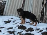Собаки, щенята Німецька вівчарка, ціна 3800 Грн., Фото